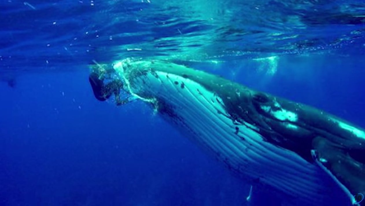 whale saves diver