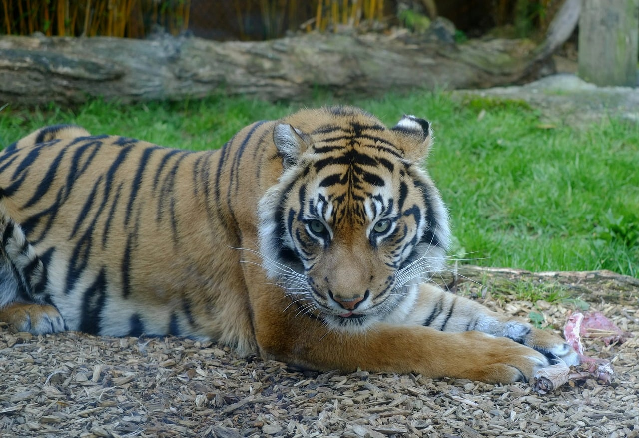 endangered sumatran tiger shape-shifter