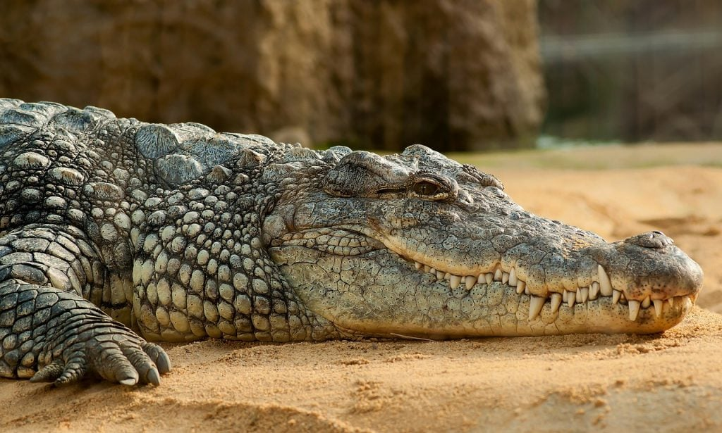 Newly Discovered Crocodile Species