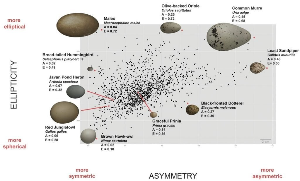 Dinosaur Origin For Bird Eggs