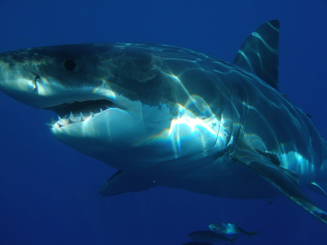 Decoded Great White Shark Genome