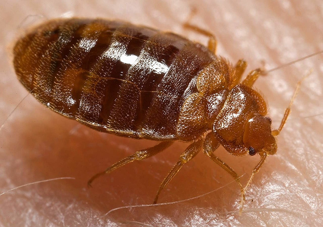 Bedbugs Lived With Dinosaurs