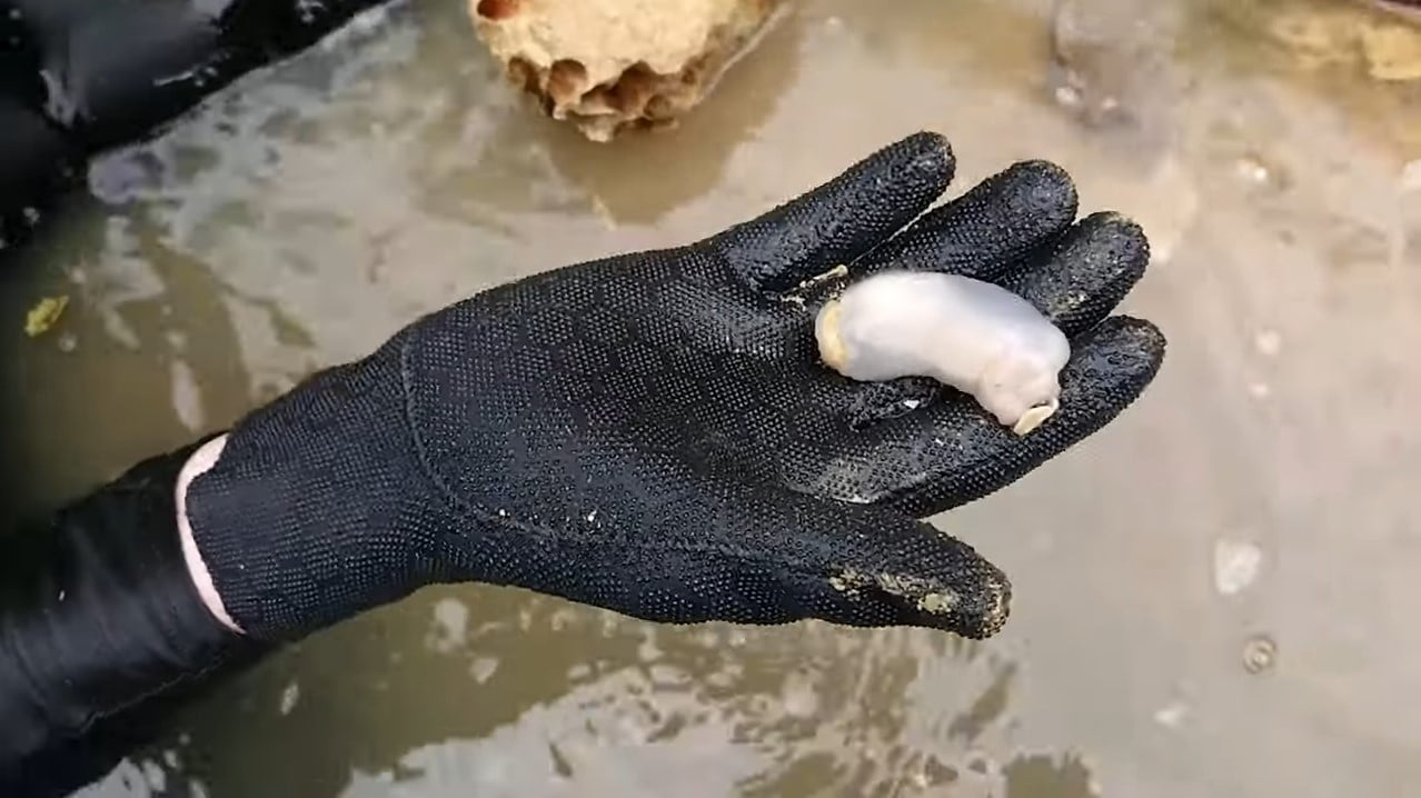Newly-Found Shipworm Eats Rocks
