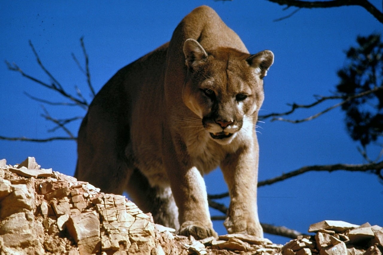 Mountain Lions presence of humans